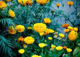 鲜艳的菊花图片(11张)