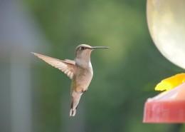 体态娇小的蜂鸟图片(12张)