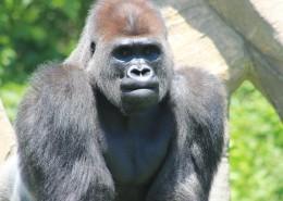 呆萌可爱的银背大猩猩图片 (11张)