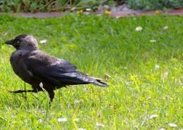 黑色羽毛的乌鸦图片(15张)