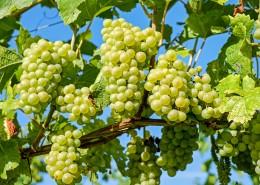葡萄藤上新鲜的绿葡萄图片(14张)