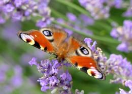 花丛中的孔雀蝴蝶图片(13张)