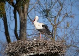 鸟巢上的白鹭图片(15张)