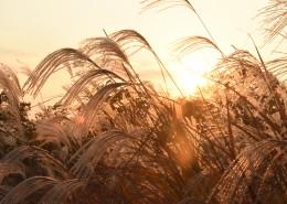 漂亮柔韧的芦苇图片(11张)
