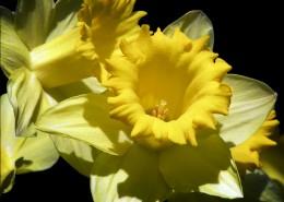 黄色的木槿花图片(15张)