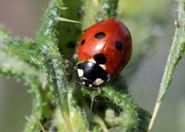 瓢虫微距摄影图片(12张)
