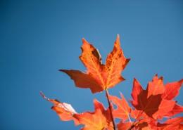 火红枫叶的图片(10张)