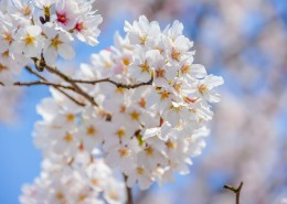 唯美好看灿烂的樱花图片(12张)