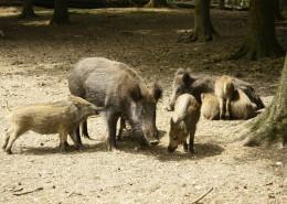 成群的野猪图片(11张)