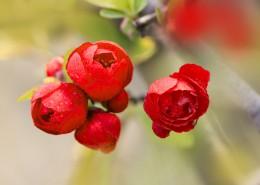娇艳盛开的贴梗海棠花图片(11张)
