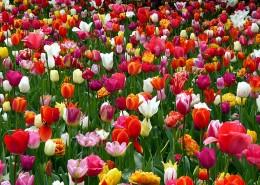 颜色各异的郁金香图片(15张)