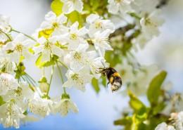正在采花蜜的蜜蜂图片(12张)
