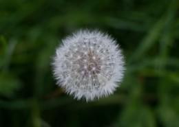 轻盈柔软的蒲公英图片(13张)