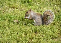 惹人喜爱的灰色小松鼠图片(12张)