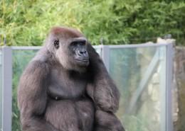 体型庞大的银背大猩猩图片 (11张)