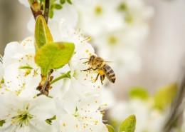 正在采花蜜的蜜蜂图片(11张)