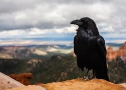 一只黑色羽毛的乌鸦图片(13张)