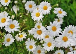 一丛白色的非洲菊图片(14张)