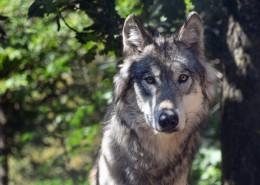 目光凶狠的野狼图片(13张)