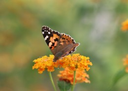 黄色花朵上的蝴蝶图片(9张)