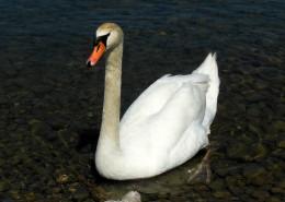 水面上的白色天鹅图片(11张)