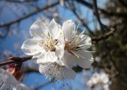 白色的桃花图片(11张)