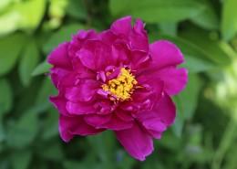 颜色艳丽的牡丹花图片(13张)