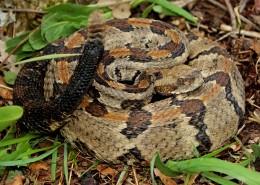 冰冷危险的毒蛇图片(13张)