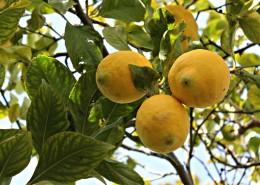 挂在枝头的柠檬图片(14张)