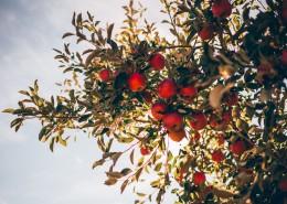 挂在树上的苹果图片(12张)