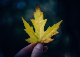一片枫叶的图片(11张)