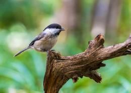 褐头山雀鸟类图片(8张)