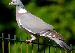 一只灰色的鸽子图片(13张)
