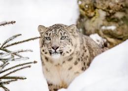 珍贵的雪豹图片(8张)