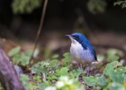 蓝歌鸲鸟类图片(9张)