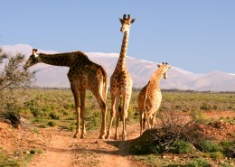 高大的长颈鹿图片(15张)