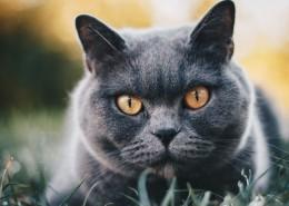 俄罗斯蓝猫图片(12张)