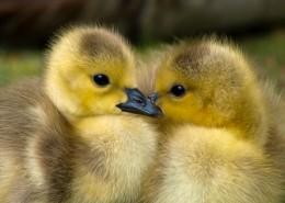 毛绒绒的小鸭子图片(11张)