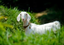 幼年的山羊图片(12张)
