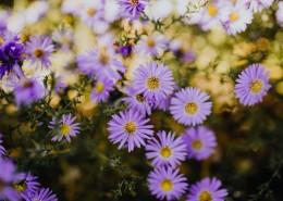 紫色的小雏菊图片(10张)
