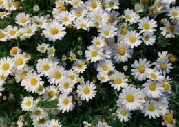 一丛白色的非洲菊图片(10张)