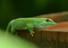绿色的蜥蜴图片(15张)