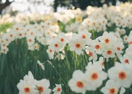 美丽的水仙花图片(10张)