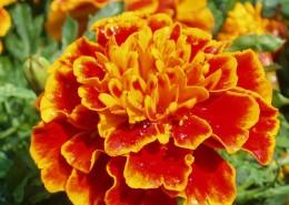 各种颜色艳丽的万寿菊图片(16张)