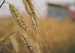 金黄的小麦图片(15张)