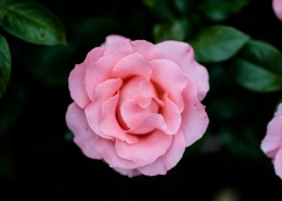 鲜艳的玫瑰花图片(10张)