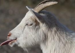 白山羊图片(10张)