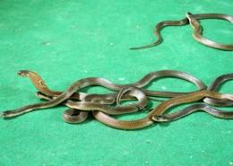 剧毒眼镜蛇图片(8张)