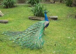 一只色彩艳丽的孔雀图片(14张)