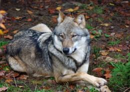 一只野狼高清图片(14张)